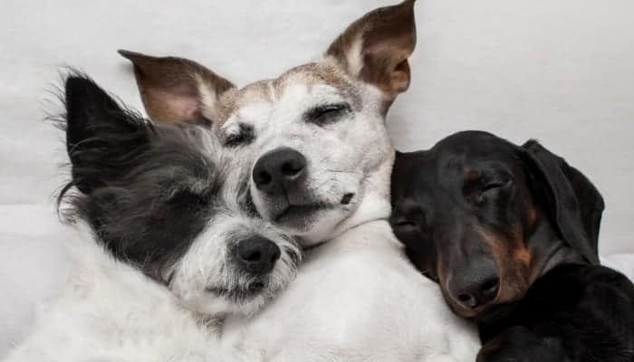 Snuggling dogs in bed