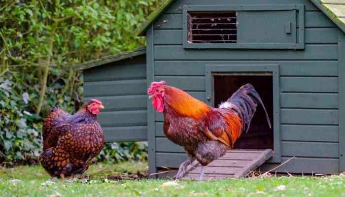 Best automatic chicken coop door